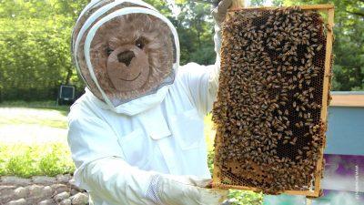 Teddy-Koenig Opa I. erntet Honig in Imkerei